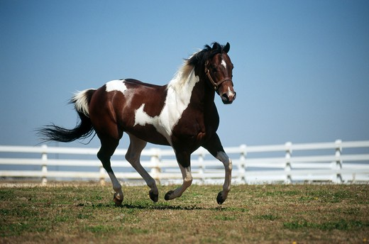Stock Photo: 4279-5196 horse galloping