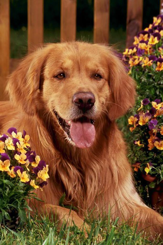 Stock Photo: 4279-5291 dog lying between flowers