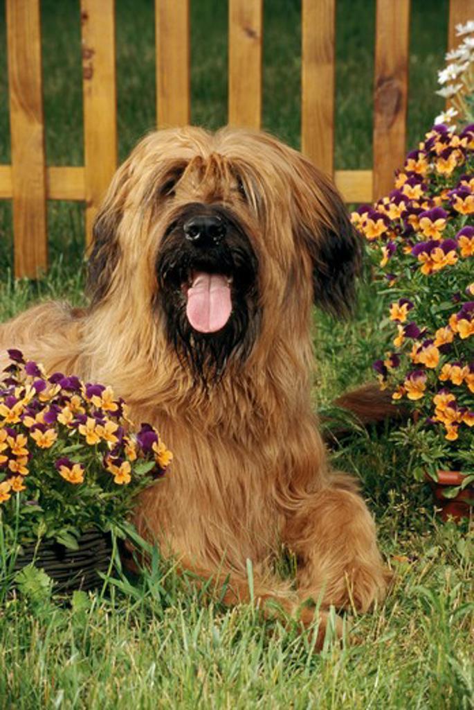 Stock Photo: 4279-5295 briard lying between flowers