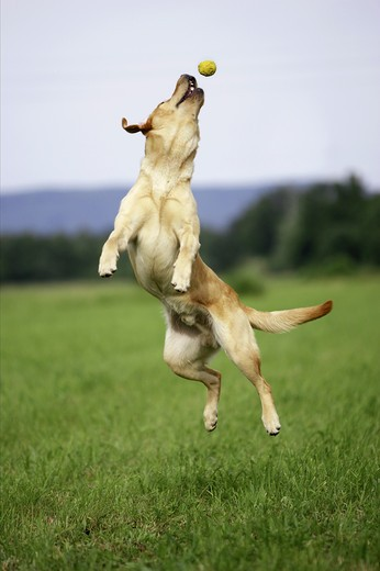 dog jumping to ball : Stock Photo