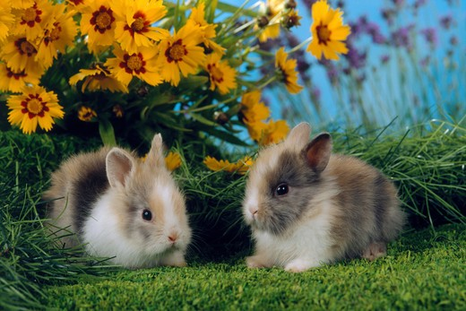 Stock Photo: 4279-5473 two young pygmy rabbits , Sylilagus idahoensis, Brachylagus idahoensis