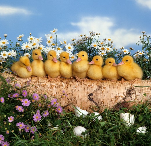 Stock Photo: 4279-5689 eight chicks on trunk