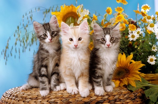 Stock Photo: 4279-5901 three kitten - sitting