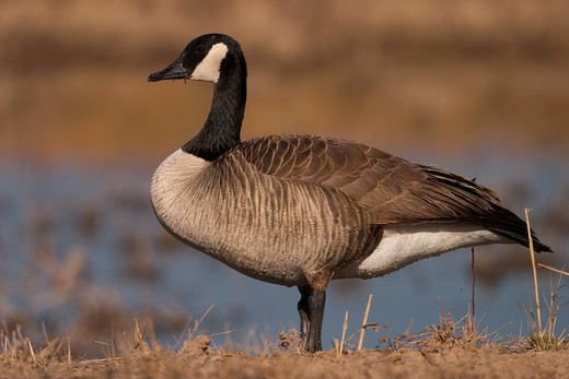 canada goose, Branta canadensis : Stock Photo