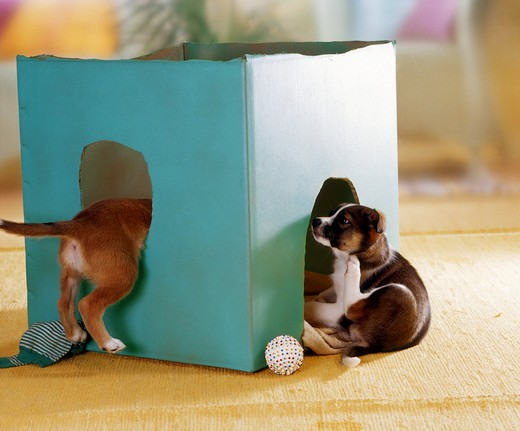 Stock Photo: 4279-5942 two half-breed puppies playing with a cardboard box