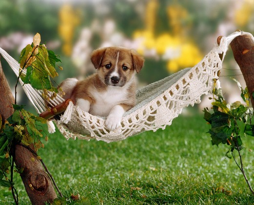 Stock Photo: 4279-5976 half-breed puppy (five weeks) in hammock