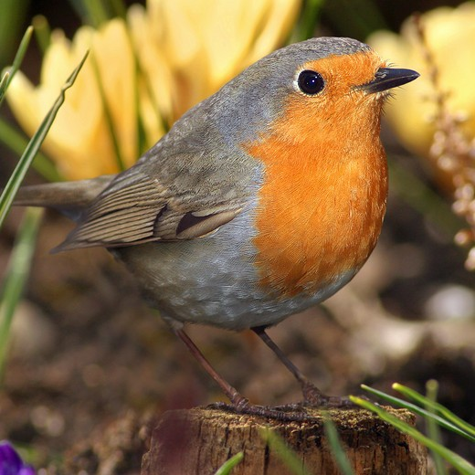 Stock Photo: 4279-6009 robin, Erithacus rubecula