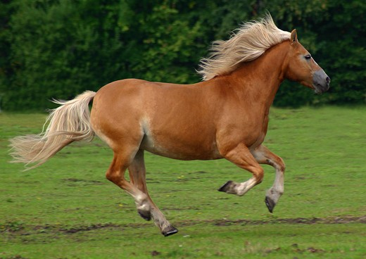 Stock Photo: 4279-6027 horse - galloping