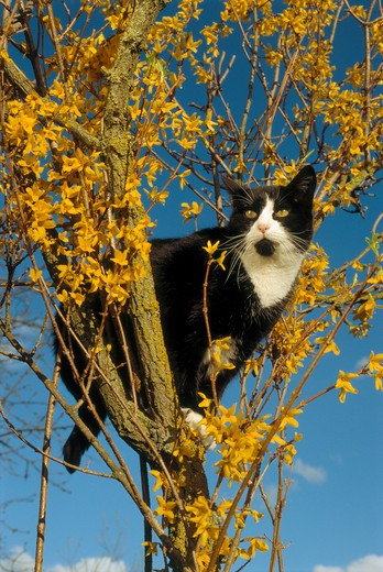 domestic cat on forsythia : Stock Photo