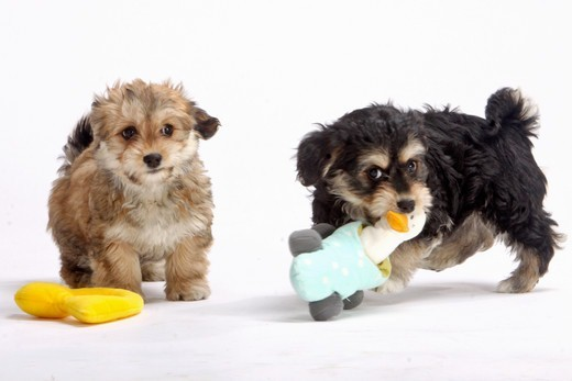 Stock Photo: 4279-63265 Havanese (Canis lupus familiaris). Two puppies playing with a toys, studio picture against a white background