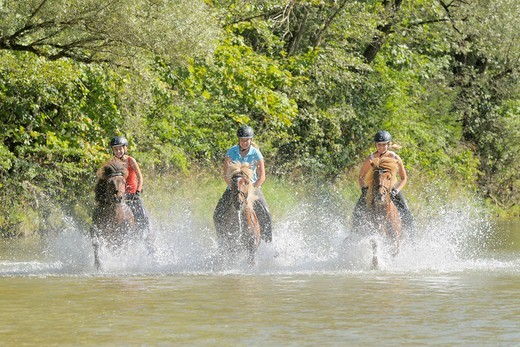 Stock Photo: 4279-63308 Icelandic Horse. Three young riders galloping in the river Isar south of Munich, Bavaria, Germany. Model release available
