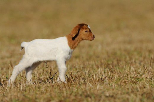 Stock Photo: 4279-63318 Domestic Goat (Capra aegagrus hircus). Kid standing on a field