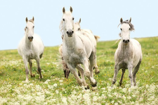 Lippizan (Equus ferus caballus). Herd of mares in a gallop on a meadow : Stock Photo