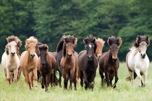 Stock Photo: 4279-63403 Icelandic Horse. Herd running on a meadow