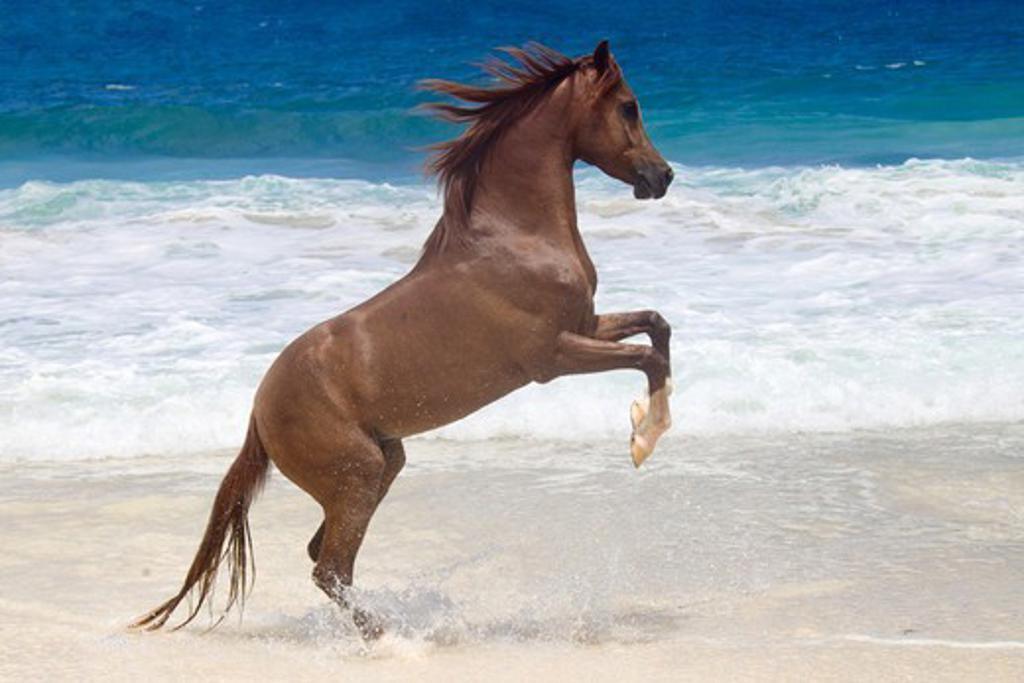 Stock Photo: 4279-63438 Arabian Horse. Stallion Tyfoon rearing on a tropical beach. Seychelles