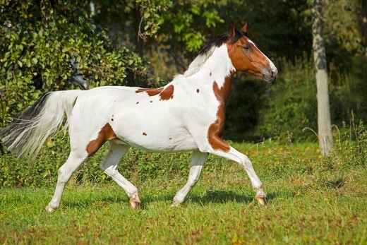 Stock Photo: 4279-63471 Dutch Warmblood in a trot on a meadow
