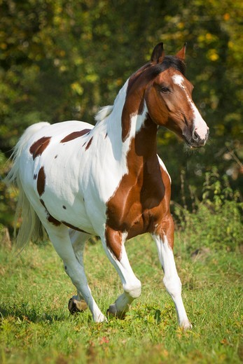Stock Photo: 4279-63474 Dutch Warmblood in a trot on a meadow