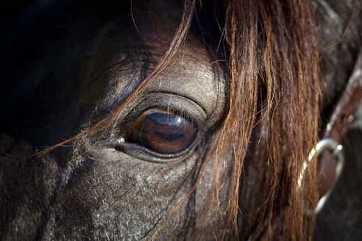 Stock Photo: 4279-63499 Paso Fino. Close-up of eye
