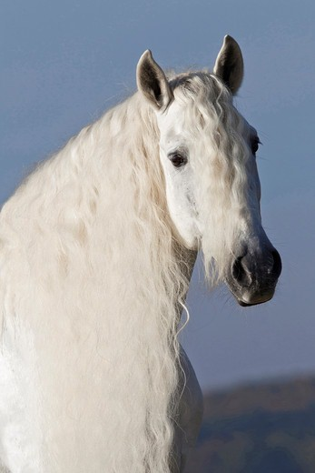 Stock Photo: 4279-63507 Pure Spanish Horse, Andalusian. Portrait of the stallion Caprichiosa