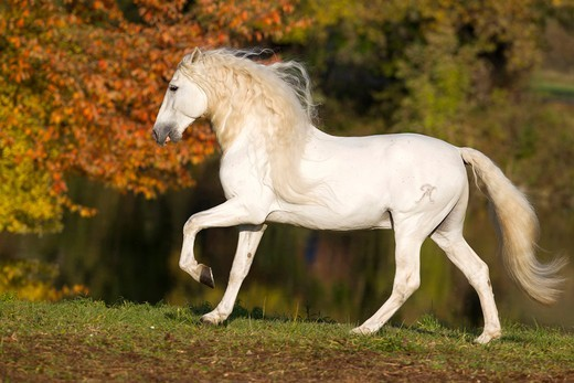 Stock Photo: 4279-63512 Pure Spanish Horse, Andalusian. The stallion Caprichiosa in a trot on a meadow