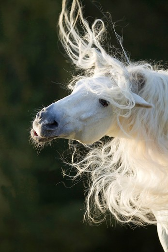 Stock Photo: 4279-63513 Pure Spanish Horse, Andalusian. Portrait of the stallion Caprichiosa shaking its long mane