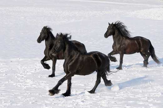 Three Friesian horses galloping in winter : Stock Photo