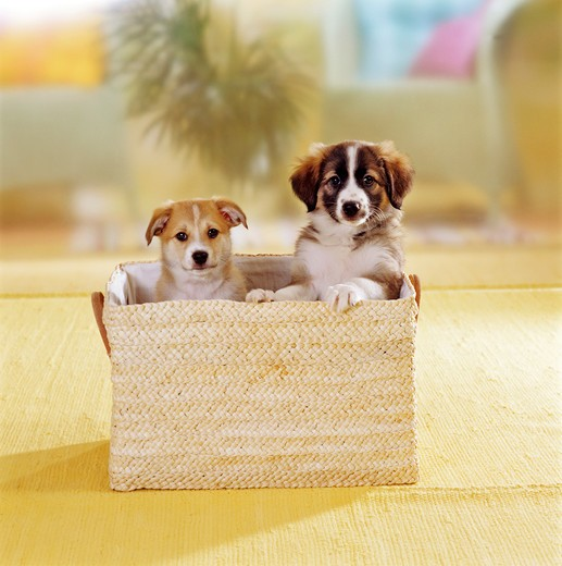 two half breed puppies ( 7 1,2 weeks ) sitting in basket : Stock Photo