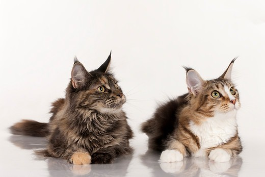 Stock Photo: 4279-64326 Maine Coon. Two cats lying while looking up. Studio picture against a white background