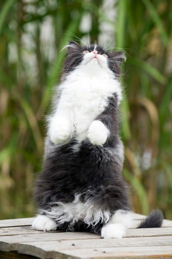 Stock Photo: 4279-64419 British Longhair. Black-and-white kitten sitting on its haunches on a garden table