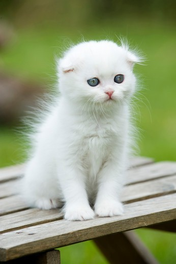 Stock Photo: 4279-64421 Scottish Fold. White kitten sitting on a garden table