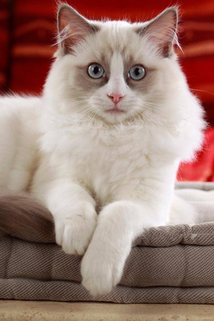 Stock Photo: 4279-64497 Ragdoll Cat, adult lying on a cushion