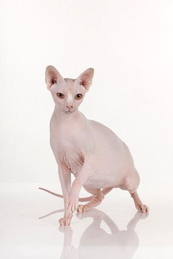 Stock Photo: 4279-64534 Sphynx Cat, adult standing. Studio picture against a white background