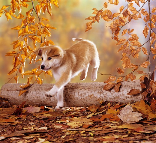Stock Photo: 4279-6463 half breed puppy ( 8 1,2 weeks ) jumping over trunk