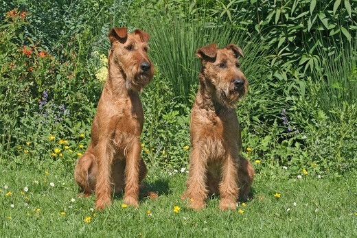 Stock Photo: 4279-64685 Irish Terrier. Two adults sitting next to each other on a meadow