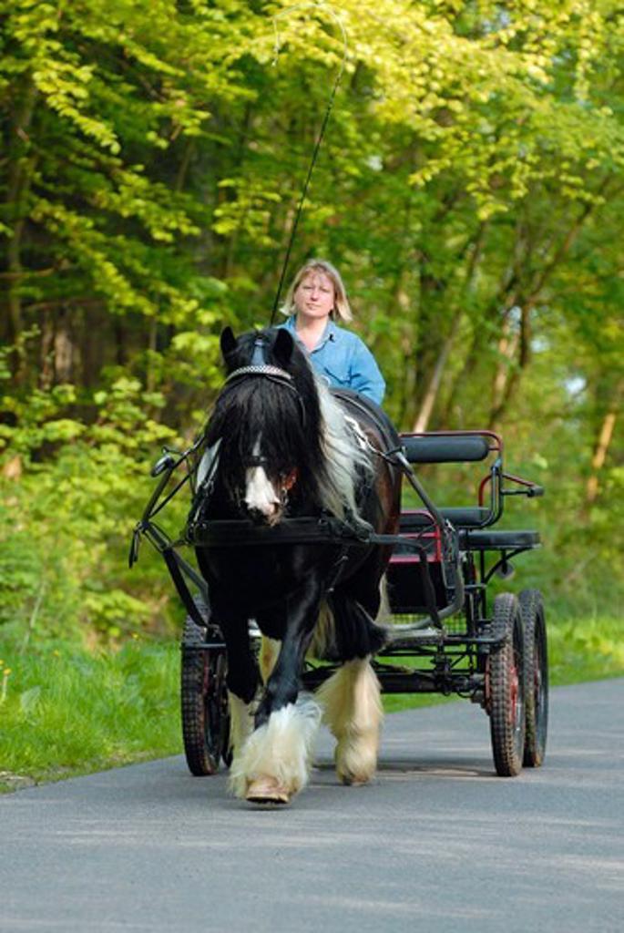 Stock Photo: 4279-64778 Gypsy Vanner Horse, Gypsy Cob pulling a marathonwagen
