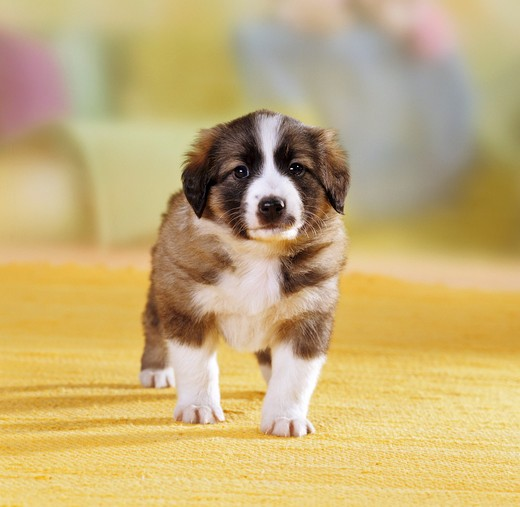 Stock Photo: 4279-6492 half breed puppy ( 4 1,2 weeks ) standing