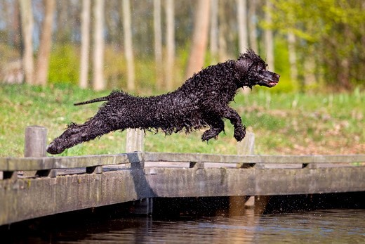 Stock Photo: 4279-65037 Irish Water Spaniel. Adult leaping from a jetty into water