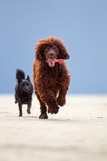 Irish Water Spaniel. Brown adult running towards the camera, followed by a black mixed-breed dog : Stock Photo
