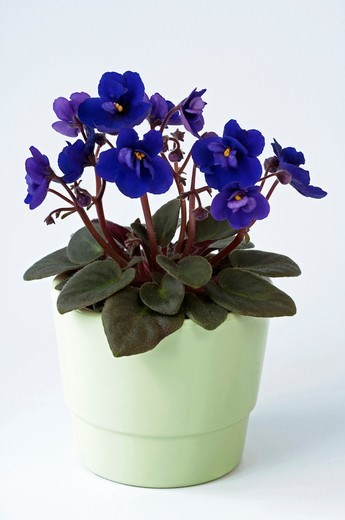 Stock Photo: 4279-65871 DEU, 2010: Saintpaulia, African Violet (Saintpaulia ionantha-Hybride), potted plant with blue flowers, studio picture against a white background.