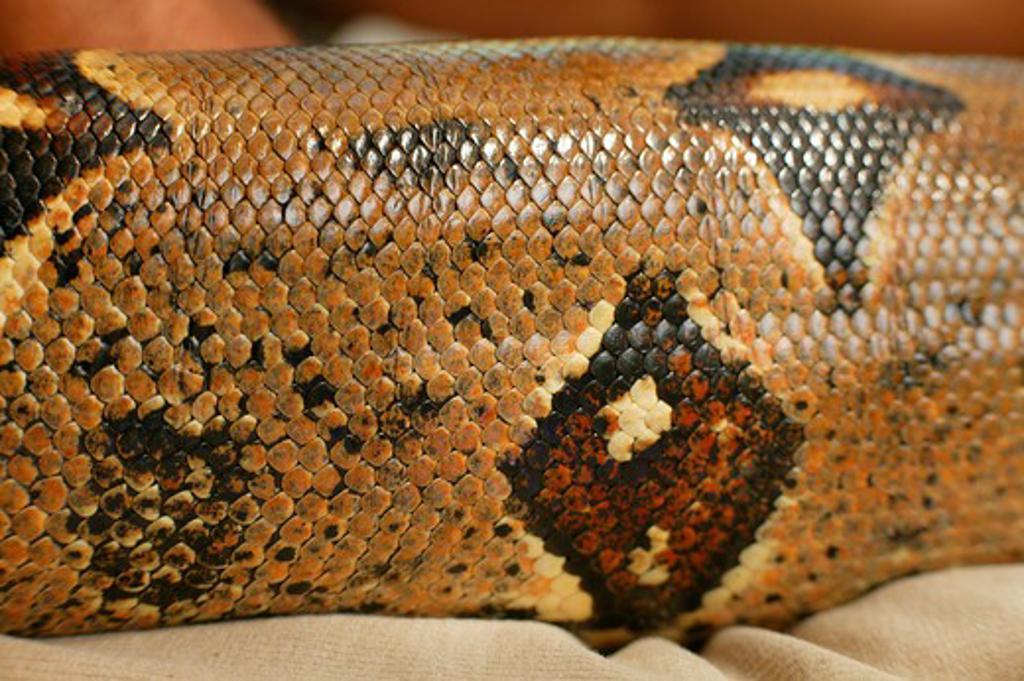 Stock Photo: 4279-6662 skin of a boa constrictor, Boa constrictor