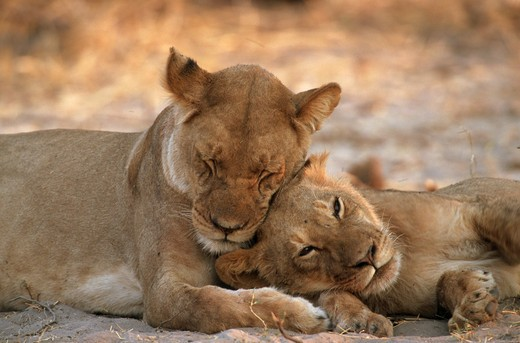 Stock Photo: 4279-6672 lioness sleeping next to cub, Panthera leo
