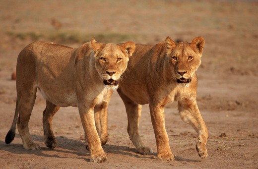 two lionesses - walking, Panthera leo : Stock Photo