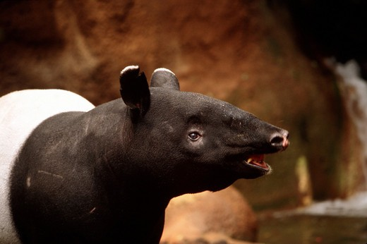 Stock Photo: 4279-6766 Asiatic tapir, Malayan tapir - endangered, tapirus indicus