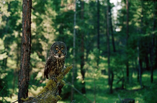 Stock Photo: 4279-6946 Strix nebulosa, great grey owl