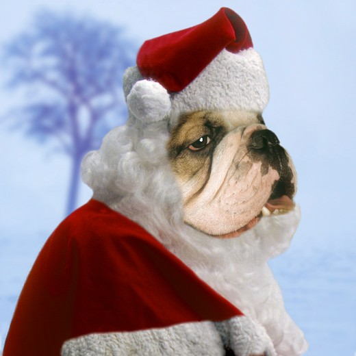 Stock Photo: 4279-6995 christmas : bulldog as Santa Claus