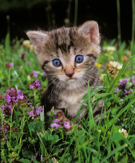 tabby kitten in meadow : Stock Photo