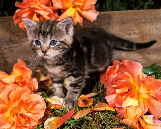 Stock Photo: 4279-6997 young tabby kitten between flowers