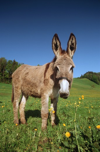 Stock Photo: 4279-7051 donkey - standing on meadow