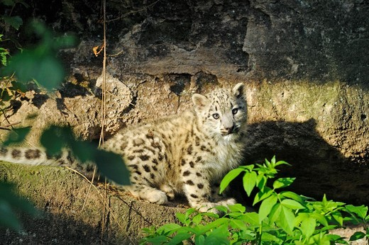 Snow Leopard (Panthera unica). Cub in a rock crevice in a zoo : Stock Photo
