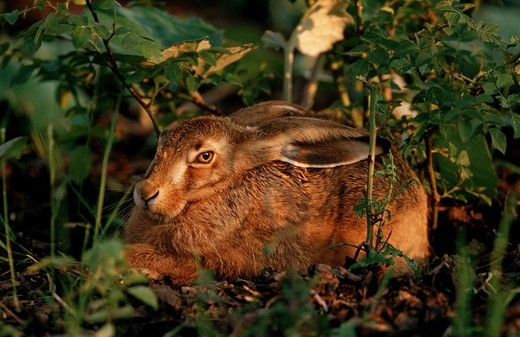 European hare - in hideaway, Lepus europaeus : Stock Photo
